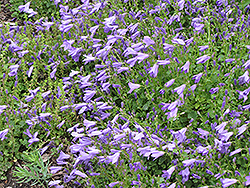 Birch Hybrid Bellflower (Campanula 'Birch Hybrid') at Oakland Nurseries Inc