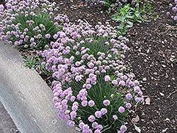 Juniper-Leaved Sea Thrift (Armeria juniperifolia) at Oakland Nurseries Inc