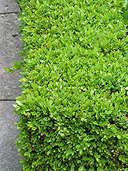 Green Velvet Boxwood (Buxus 'Green Velvet') at Oakland Nurseries Inc