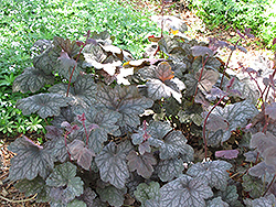 Velvet Night Coral Bells (Heuchera 'Velvet Night') at Oakland Nurseries Inc