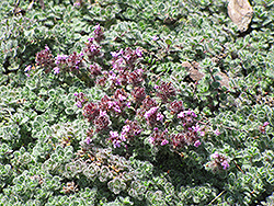 Wooly Thyme (Thymus pseudolanuginosis) at Oakland Nurseries Inc