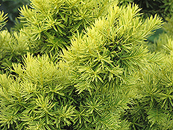 Dwarf Golden Japanese Yew (Taxus cuspidata 'Nana Aurescens') at Oakland Nurseries Inc