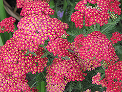 Paprika Yarrow (Achillea millefolium 'Paprika') at Oakland Nurseries Inc