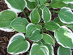Diamond Tiara Hosta (Hosta 'Diamond Tiara') at Oakland Nurseries Inc