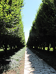 Pyramidal European Hornbeam (Carpinus betulus 'Fastigiata') at Oakland Nurseries Inc