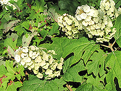 Snow Queen Hydrangea (Hydrangea quercifolia 'Snow Queen') at Oakland Nurseries Inc