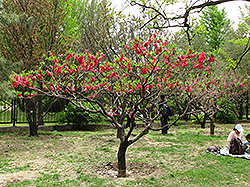 Double Red Flowering Peach (Prunus persica 'Double Red') at Oakland Nurseries Inc