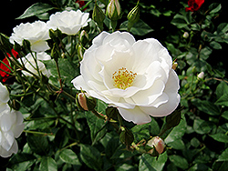 White Simplicity Rose (Rosa 'White Simplicity') at Oakland Nurseries Inc