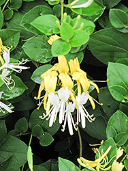 Hall's Japanese Honeysuckle (Lonicera japonica 'Halliana') at Oakland Nurseries Inc