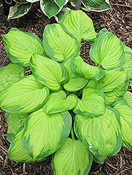 Stained Glass Hosta (Hosta 'Stained Glass') at Oakland Nurseries Inc