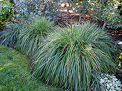 Moudry Fountain Grass (Pennisetum alopecuroides 'Moudry') at Oakland Nurseries Inc