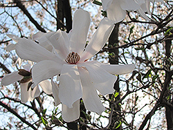 Waterlily Magnolia (Magnolia stellata 'Waterlily') at Oakland Nurseries Inc