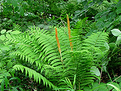 Cinnamon Fern (Osmunda cinnamomea) at Oakland Nurseries Inc