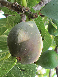Celeste Fig (Ficus carica 'Celeste') at Oakland Nurseries Inc