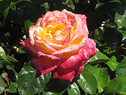 Love And Peace Rose (Rosa 'Love And Peace') at Oakland Nurseries Inc