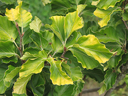 Rohan Gold Beech (Fagus sylvatica 'Rohan Gold') at Oakland Nurseries Inc