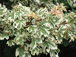 Carnival Hedge Maple (Acer campestre 'Carnival') at Oakland Nurseries Inc