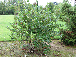 Viking Chokeberry (Aronia x prunifolia 'Viking') at Oakland Nurseries Inc