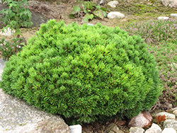 Mops Mugo Pine (Pinus mugo 'Mops') at Oakland Nurseries Inc