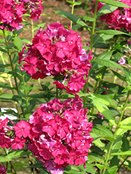 Nicky Garden Phlox (Phlox paniculata 'Nicky') at Oakland Nurseries Inc