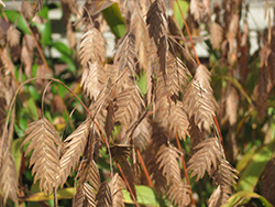 Northern Sea Oats (Chasmanthium latifolium) at Oakland Nurseries Inc