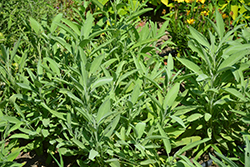 Common Sage (Salvia officinalis) at Oakland Nurseries Inc