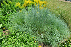 Prairie Blues Bluestem (Schizachyrium scoparium 'Prairie Blues') at Oakland Nurseries Inc