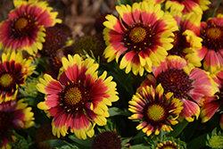 Sunset™ Mexican Blanket Flower (Gaillardia x grandiflora 'Sunset Mexican') at Oakland Nurseries Inc