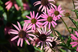 Rocky Top Coneflower (Echinacea tennesseensis 'Rocky Top') at Oakland Nurseries Inc