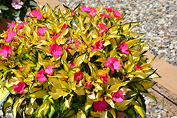 SunPatiens® Compact Tropical Rose New Guinea Impatiens (Impatiens 'SunPatiens Compact Tropical Rose') at Oakland Nurseries Inc