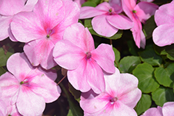 Super Elfin® XP Lilac Impatiens (Impatiens walleriana 'Super Elfin XP Lilac') at Oakland Nurseries Inc