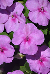 Super Elfin® XP Blue Pearl Impatiens (Impatiens walleriana 'Super Elfin XP Blue Pearl') at Oakland Nurseries Inc
