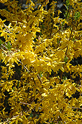 Lynwood Gold Forsythia (Forsythia x intermedia 'Lynwood Gold') at Oakland Nurseries Inc