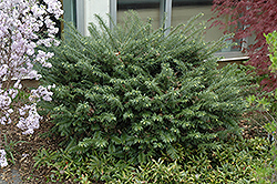 Duke Gardens Plum Yew (Cephalotaxus harringtonia 'Duke Gardens') at Oakland Nurseries Inc