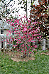 Appalachian Red Redbud (Cercis canadensis 'Appalachian Red') at Oakland Nurseries Inc