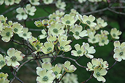 Appalachian Spring Flowering Dogwood (Cornus florida 'Appalachian Spring') at Oakland Nurseries Inc