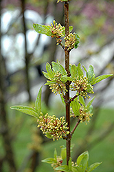 Golden Glory Cornelian Cherry Dogwood (Cornus mas 'Golden Glory') at Oakland Nurseries Inc
