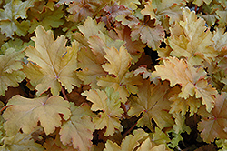 Amber Waves Coral Bells (Heuchera 'Amber Waves') at Oakland Nurseries Inc