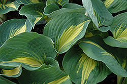 Thunderbolt Hosta (Hosta 'Thunderbolt') at Oakland Nurseries Inc