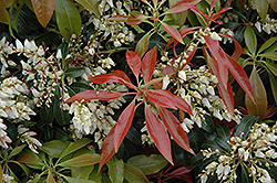 Scarlet O'Hara Japanese Pieris (Pieris japonica 'Scarlet O'Hara') at Oakland Nurseries Inc