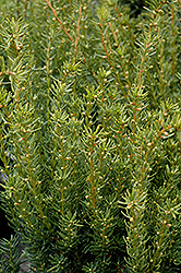 Fairview Yew (Taxus x media 'Fairview') at Oakland Nurseries Inc