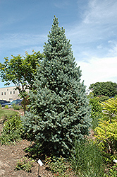Upright Colorado Spruce (Picea pungens 'Fastigiata') at Oakland Nurseries Inc