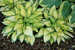 Orange Marmalade Ball Hosta (Hosta 'Orange Marmalade') at Oakland Nurseries Inc