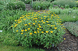 Tuscan Sun False Sunflower (Heliopsis helianthoides 'Tuscan Sun') at Oakland Nurseries Inc