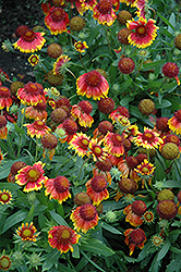 Arizona Sun Blanket Flower (Gaillardia x grandiflora 'Arizona Sun') at Oakland Nurseries Inc
