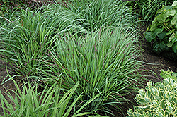 Cheyenne Sky Switch Grass (Panicum virgatum 'Cheyenne Sky') at Oakland Nurseries Inc