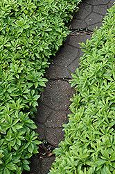 Green Carpet Japanese Spurge Pachysandra Terminalis