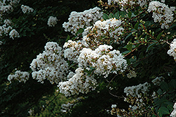 Acoma Crapemyrtle (Lagerstroemia 'Acoma') at Oakland Nurseries Inc
