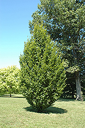 Frans Fontaine Hornbeam (Carpinus betulus 'Frans Fontaine') at Oakland Nurseries Inc