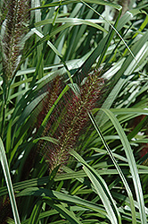 Red Head Fountain Grass (Pennisetum alopecuroides 'Red Head') at Oakland Nurseries Inc